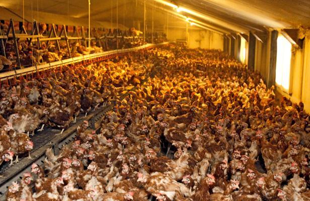 article_poulets