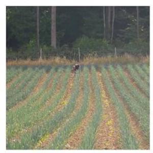 champ de poireaux desherbé