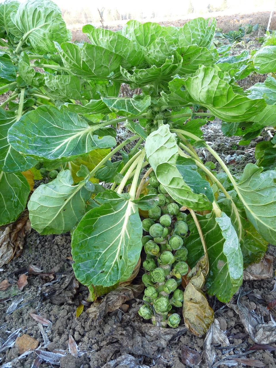 2013 amap plaisir des saveurs - Choux de bruxelles plantation ...
