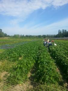 cueillette haricots verts juillet 2015