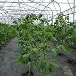 Deuxième saison de tomates