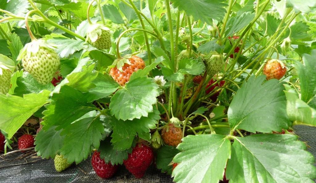 fraises du 15 juin 2013