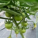 Première saison de tomates