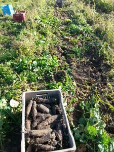 arrachage des radis noirs
