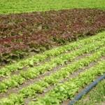 Des salades à perte de vue