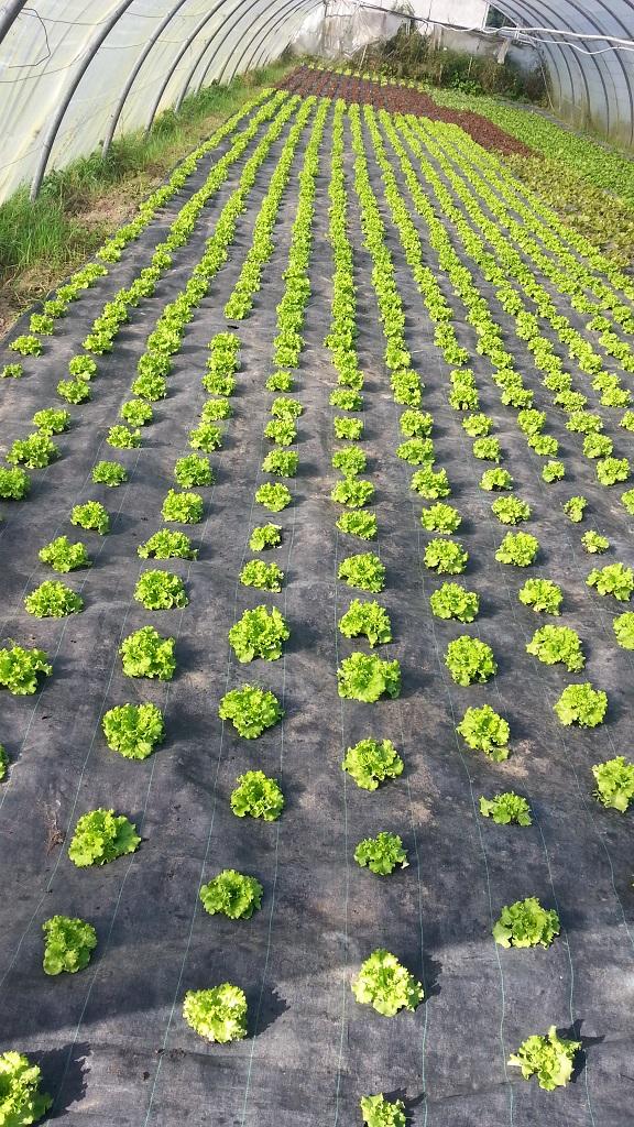 salades sous serre