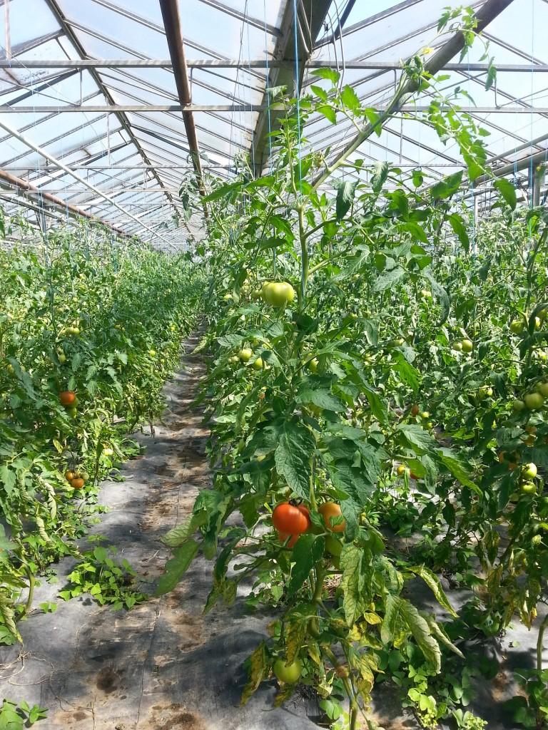 tomates le 2 juillet